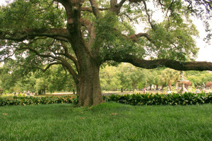 tulane_tree_IMG_5116-300x200