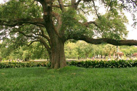 tulane_tree_IMG_5116